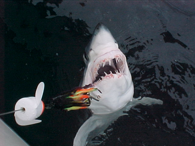 Mako madness for Deep sea fishing dana point